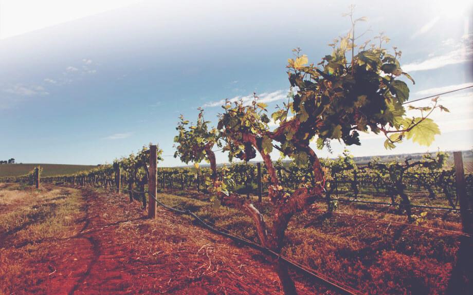 Australian Vines