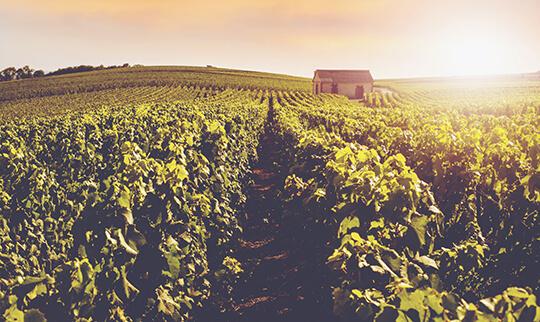 Champagne Guide Vineyard 540x322