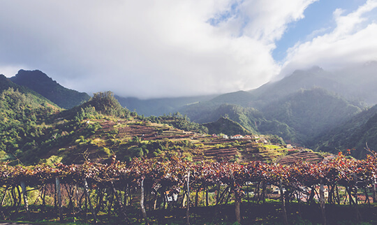Madeira Guide Vineyard 540x322