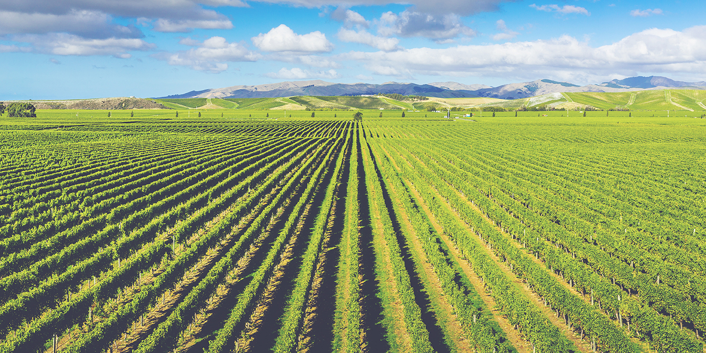 A Guide to New Zealand Wine - Vineyard 2