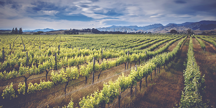 A Guide to New Zealand Wine - Vineyard