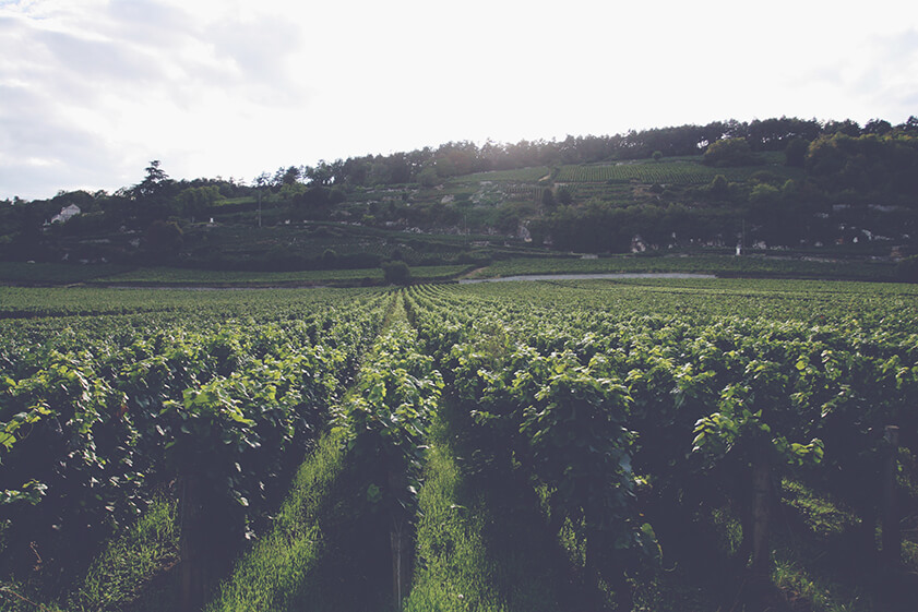 A Guide to Red Burgundy - Vineyard 2