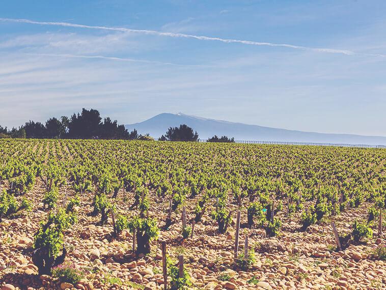 A Guide to Rhone - Vineyard