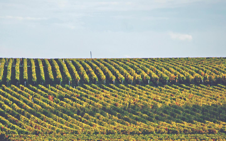 A Guide to White Bordeaux - Vineyard