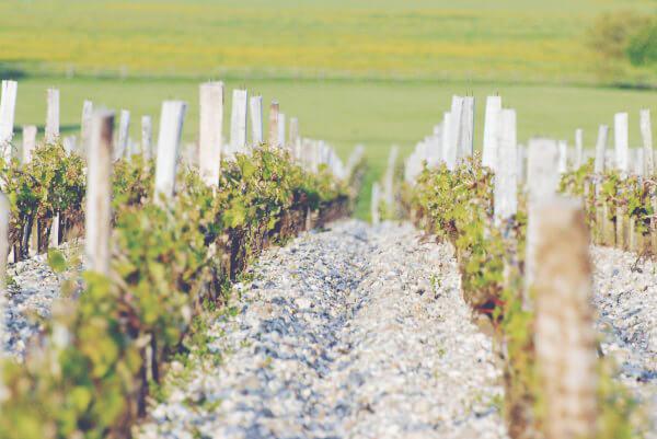 A Guide to White Bordeaux - Vineyard 2
