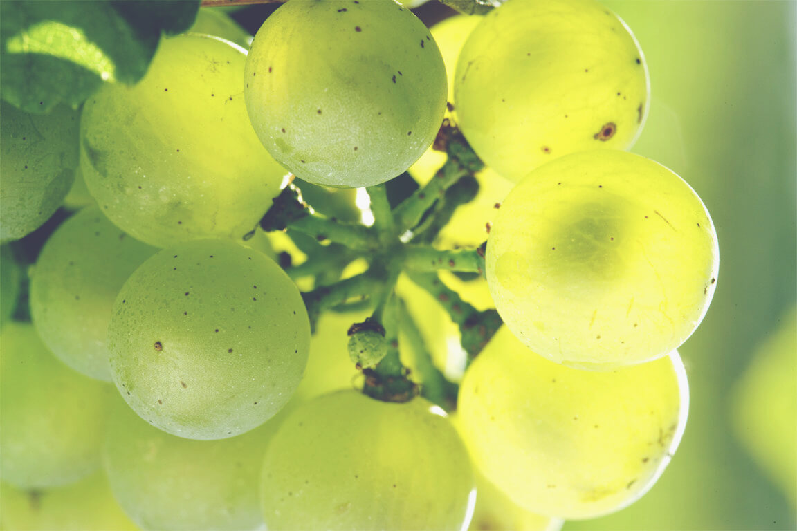 A Guide to White Burgundy - Grapes