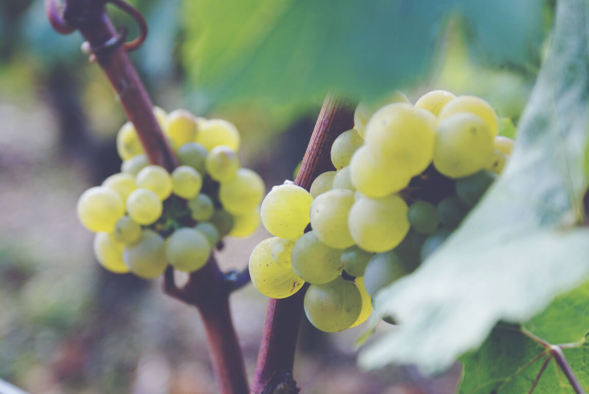 A Guide to White Burgundy - Grapes 2