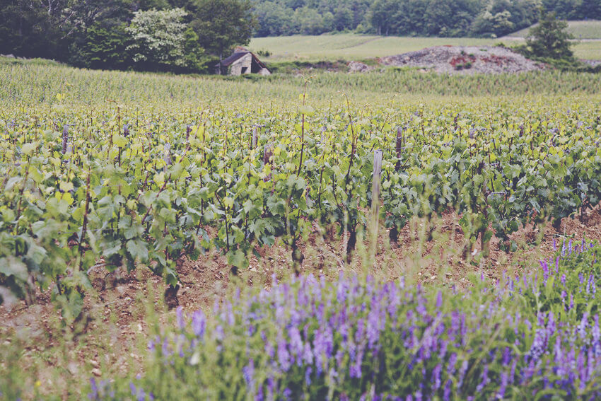A Guide to White Burgundy - Vineyard 3