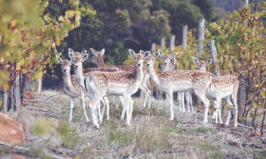 Mc H Deer in the Vineyard 540x322