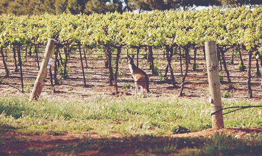 Wakefield Baby Kangaroo in the Vineyard 540x322