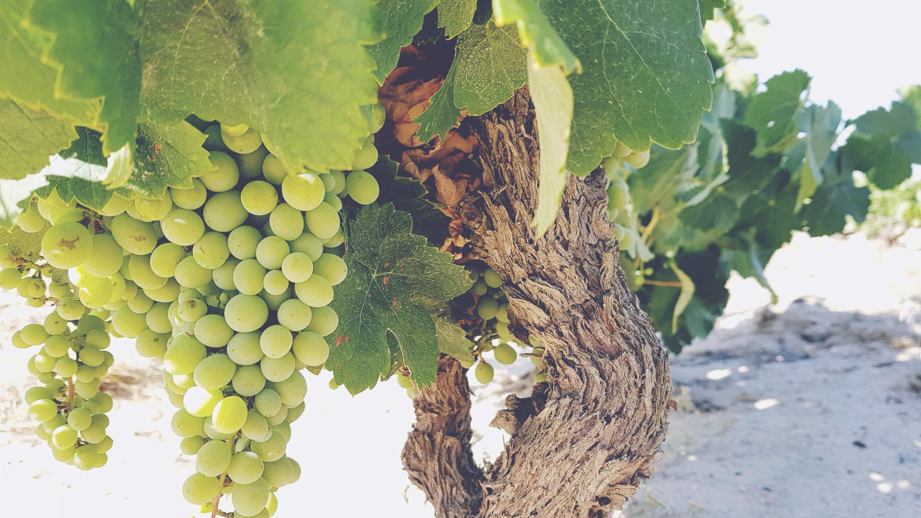 Mullineux Vines